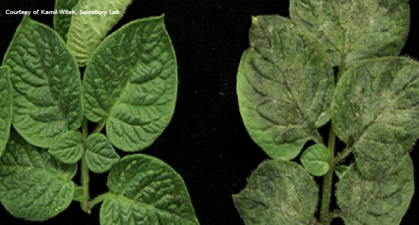 Leaves with and without late blight disease_front tile
