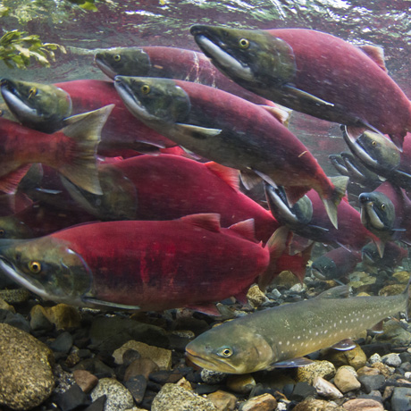 Wild Salmon Ecosystems Initiative