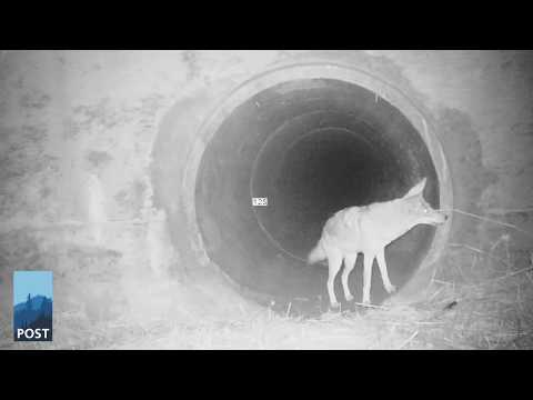 coyote-badger-youtube-thumb_POST
