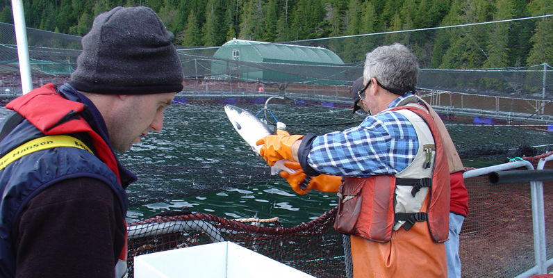 Courtesy of Watershed Watch - Monitoring sea lice on a salmon farm