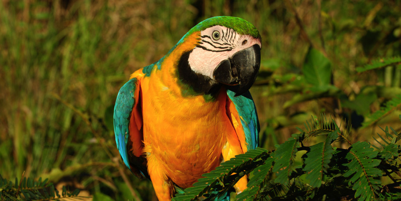 Courtesy of Zig Koch/WWF-Canon - Blue-and-yellow Macaw (Ara ararauna), Juruena National Park, Brazil