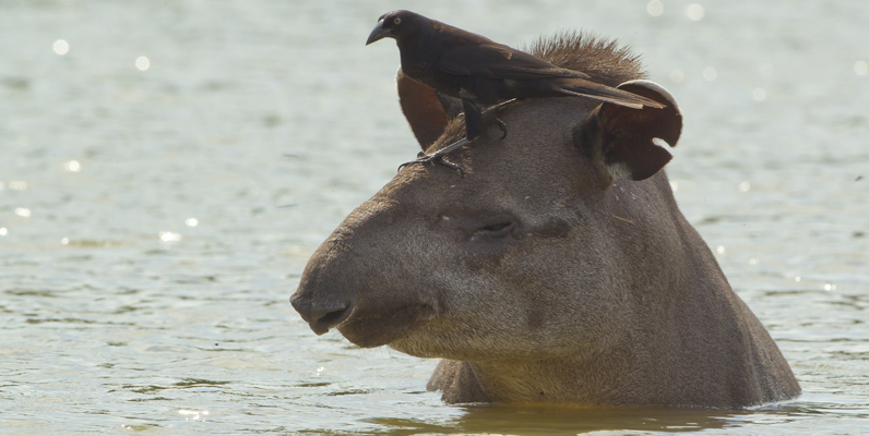 Courtesy of Mileniusz Spanowicz/Wildlife Conservation Society - Lowland Tapir and Bird