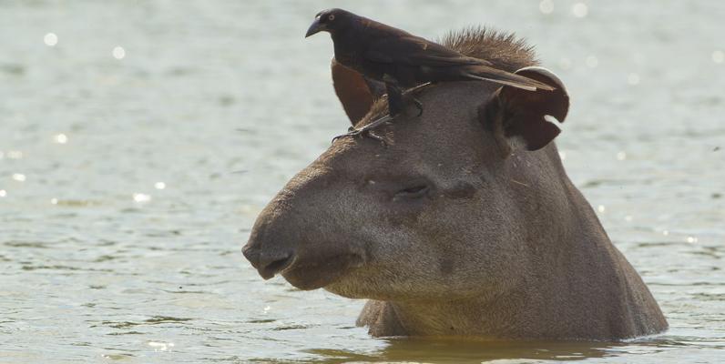 Courtesy of Mileniusz Spanowicz/Wildlife Conservation Society - Lowland Tapir and Bird