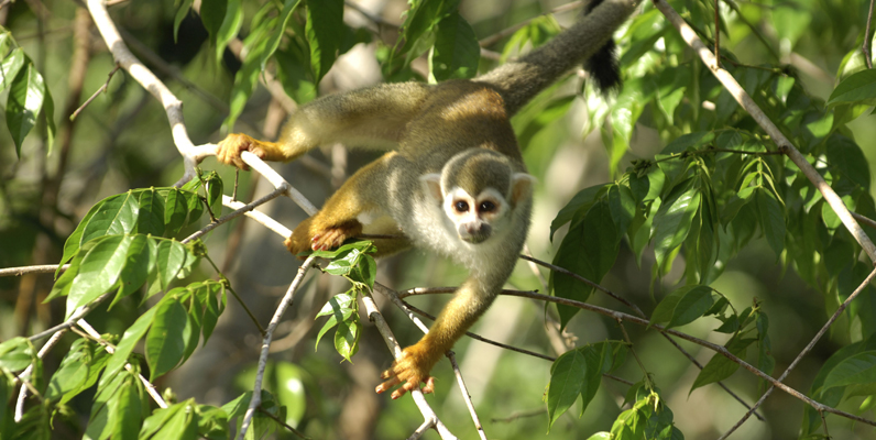 Courtesy of Zig Koch/WWF-Canon - Squirrel monkey (Saimiri sciureus) in a tree, Mountains of Tumucumaque National Park, Amapá, Brazil