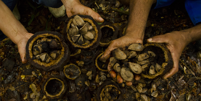 Courtesy of WWF and Aurelice Vasconcelos/ICMBio - Men in Cazumbá, an ARPA region, holding shells filled with Brazil nuts