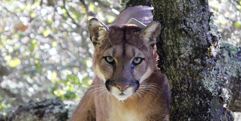 Courtesy of Santa Cruz Puma Project, UCSC