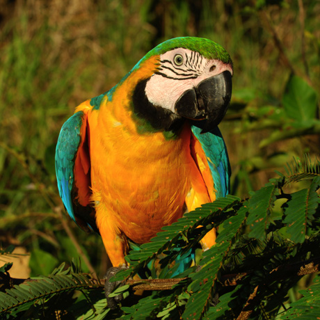 Courtesy of Zig Koch / WWF-Canon - Blue-and-yellow Macaw (Ara ararauna), Juruena National Park, Brazil
