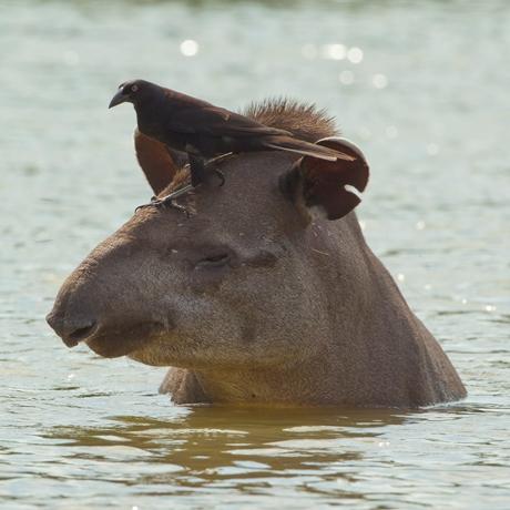 Courtesy of Mileniusz Spanowicz and WCS - lowland tapir