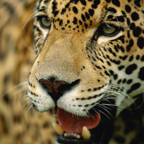 Courtesy of Staffan Widstrand / WWF-Canon - Jaguar (Panthera onca), Brazil