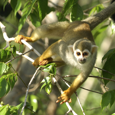 Courtesy of Zig Koch / WWF-Canon - Squirrel monkey, Tumucumaque National Park, Amapá, Brazil